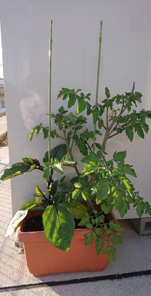 トマト 新潟市 栽培 お庭